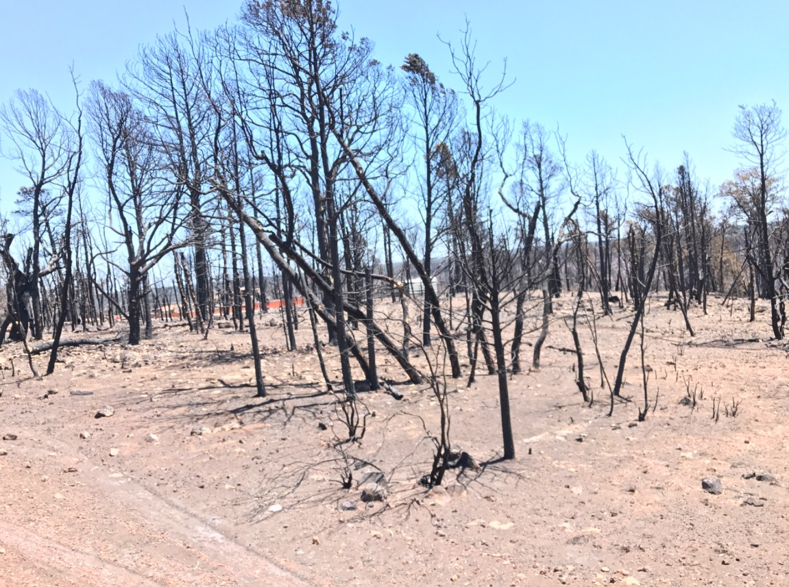 Packed Trees in Forest After Fire